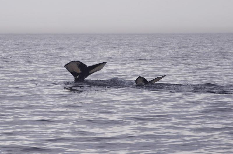 A mom and a baby whale I saw while whale watching off the coast of Cape Cod.